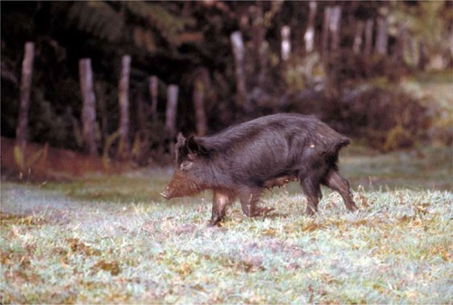 Picture of a feral pig on Hawai'i Island